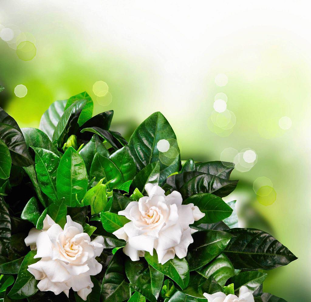 Rośliny doniczkowe uwodzą nas nie tylko urodą kwiatów czy liści. Dodatkowym atutem wielu z nich jest piękny zapach, który z powodzeniem zastąpi odświeżacze powietrza. <BR /> ROŚLINY PACHNĄCE. GARDENIA. Ta roślina o mocno pachnących kwiatach uchodzi za kapryśnicę - może zrzucić pąki i liście zarówno w chłodzie (poniżej 16 st. C), jak i w upale (powyżej 25 st. C), a także w za suchej lub za mokrej ziemi. Trzeba ją regularnie i umiarkowanie podlewać, od czasu do czasu warto też zakwasić wodę sokiem z cytryny (kilka kropli na litr).