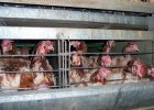 """Holandia b�dzie wolna od kurczak�w z ferm przemys�owych? Sklepy m�wi�: """"Koniec z tym"""""""