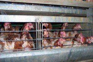 Holandia będzie wolna od kurczaków z ferm przemysłowych? Sklepy mówią: Koniec z tym