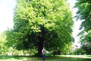 Drzewa miododajne