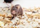 Myszy chudną w oczach