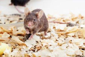 Myszy chudn� w oczach