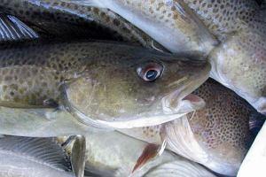 Niemcy ostrzegają: Wątróbka z bałtyckich ryb niebezpieczna dla ludzi