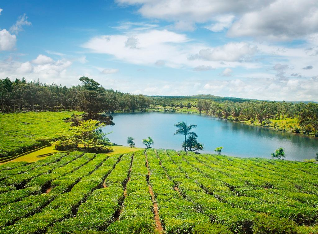 Plantacja herbaty na Mauritiusie