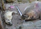 Foki z Helu w maju wyruszą na wolność