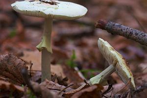 Muchomor - jak rozpoznać i który z tych grzybów jest najbardziej niebezpieczny? [opis, budowa, zatrucie]