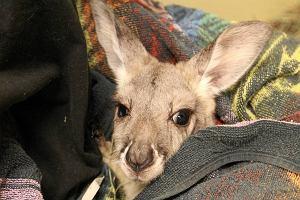 """""""Ja nie �artuj�, po ulicy biega kangur"""". Przykry fina� kradzie�y w minizoo"""