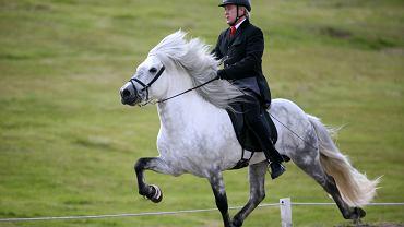 Koń islandzki poruszający się töltem
