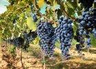 Globalne ocieplenie mąci w winie