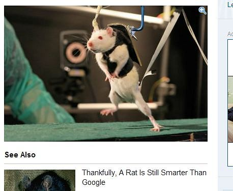 Sukces - sparaliżowane szczury znów mogą chodzić i biegać!
