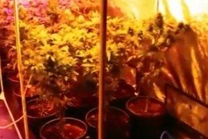 Policja odkry�a plantacj� 48 krzak�w konopi indyjskich. 22-latkom grozi 10 lat wi�zenia