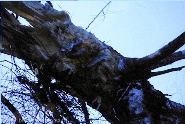 In�. Piotr Lipiec z Pa�stwowej Komisji Badania Wypadk�w Lotniczych pokazywa� fotografi� brzozy, w kt�r� tu� przed katastrof� uderzy� prezydencki tupolew. Na zdj�ciu (zbli�enie z lewej - fot. S�awomir Kami�ski) wykonanym w Smole�sku zaraz po tragedii z 10 kwietnia 2010 r. wida� wyra�nie fragmenty skrzyd�a samolotu wbite w drzewo. Przeczy to teorii prof. Wies�awa Biniendy, czo�owego doradcy zespo�u Macierewicza, �e samolot w og�le o brzoz� nie zahaczy�
