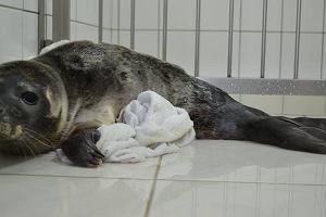 Ma�a foka trafi�a do helskiego fokarium. Znale�li j� tury�ci