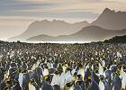 Pingwiny królewskie czeka zagłada?