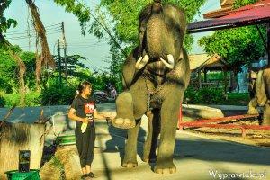 """""""Trzy dni ze s�oniem potrafi� zmieni� �ycie"""". Rozmowa z synem za�o�yciela wyj�tkowego o�rodka dla s�oni """"Elephant Kraal"""" w Tajlandii"""