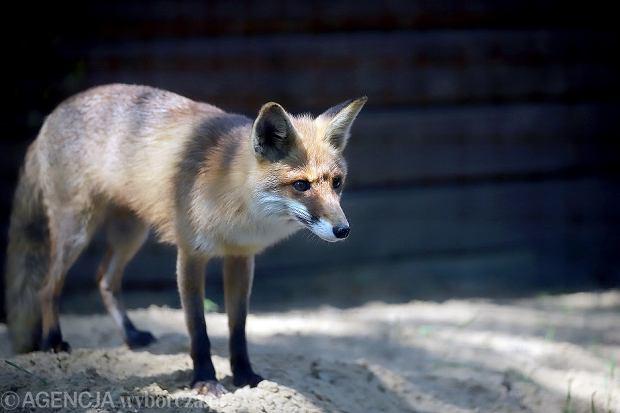 Wścieklizna w Wielkopolsce. Najbardziej zagrożonymi wścieklizną zwierzętami są lisy, borsuki, gryzonie, ale także psy i koty