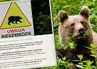 """""""Tylko spokój"""" - Lasy Państwowe radzą, jak się zachować podczas spotkania z niedźwiedziem"""