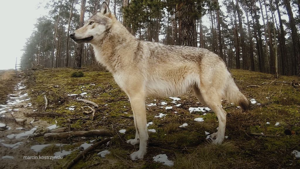 Marcin z lasu - wilk