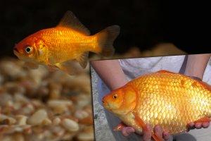 Z�ote rybki giganty niszcz� kolejne ekosystemy. I nie jest to cytat z tabloidu