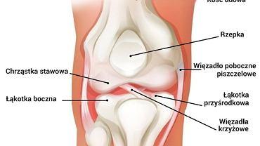 Układ kostny: Budowa stawu kolanowego