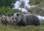 Obudziły się bieszczadzkie niedźwiedzie. Leśnicy ostrzegają: Nie schodźcie ze szlaków!