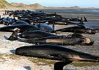 """Setki waleni umierają wyrzucone na brzeg. Martwe oznacza się znakiem """"X"""" [ZDJĘCIA]"""