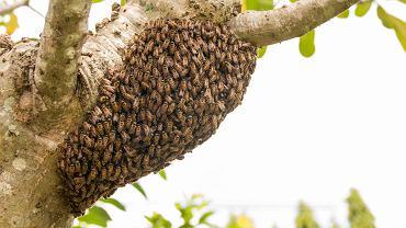 Rój pszczół na gałęzi.