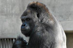 Słodziak tygodnia, czyli goryl o mądrym spojrzeniu