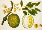 Trzy wielkie owoce Azji: chlebowiec, d�akfrut i durian