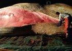 Wieloryb w Bałtyku. Trwa sekcja zwłok. To finwal, ma ponad 17 m [ZDJĘCIA]