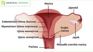 Do narządów wewnętrznych żeńskiego układu płciowego zaliczamy jajniki, jajowody, macicę i pochwę.
