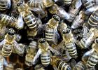 """Kiedy pszczołę coś zaskoczy, zdumiona krzyczy """"Ojej!"""", zupełnie jak ludzie. To ważne odkrycie - twierdzą badacze"""