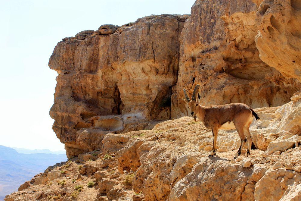 Koziorożec przy kraterze Ramon, pustynia Negev, Izrael / fot. Shutterstock