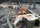 Odbywa się wielkie rżnięcie naszych lasów. I są zakusy na więcej