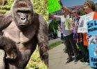 Czy Harambe musia� zgin��? Trzy pytania, kt�re powinni�my sobie zada� po zastrzeleniu goryla