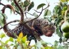 K�uj�cy klaun - nowy gatunek nadrzewnego je�ozwierza odkryto w Brazylii