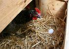 Japońscy naukowcy wyhodowali kury, które znoszą bezcenne dla wielu chorych na raka jaja