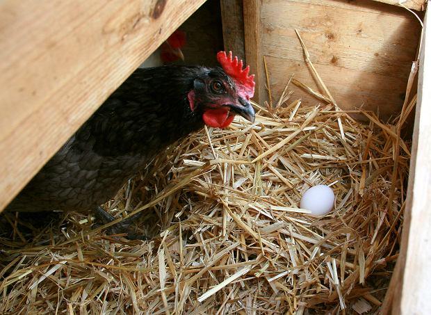 Naukowcy wzięli się za hodowanie kur. Efekt? Ptaki znoszą jaja z lekarstwem na raka