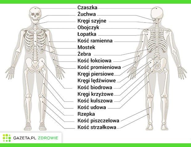 Budowa szkieletu