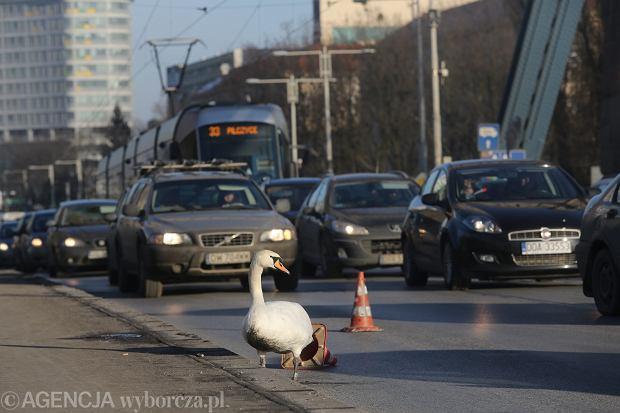 Przestraszony łabędź zablokował ruch na moście we Wrocławiu. Policjanci ustawili wokół niego pachołki