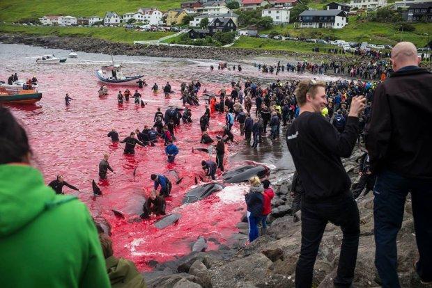 Mieszkańcy Wysp Owczych zaszlachtowali kolejne 60 grindwali. Przewoźnicy rezygnują z rejsów turystycznych