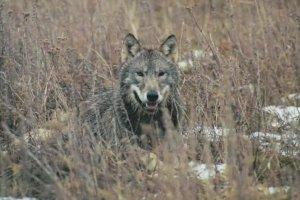 Wilk kontra cz�owiek