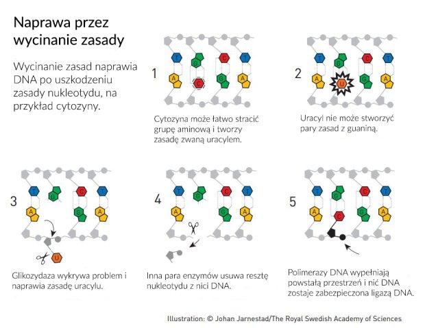 Wycinanie zasady naprawia DNA po uszkodzeniu zasady nukleotydu, na przykład cytozyny.