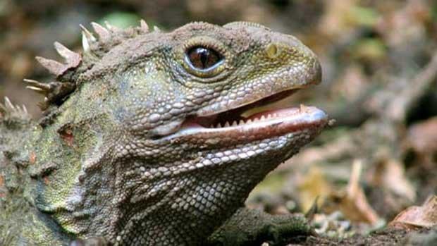 Nowozelandzki dinozaur - Tuatara