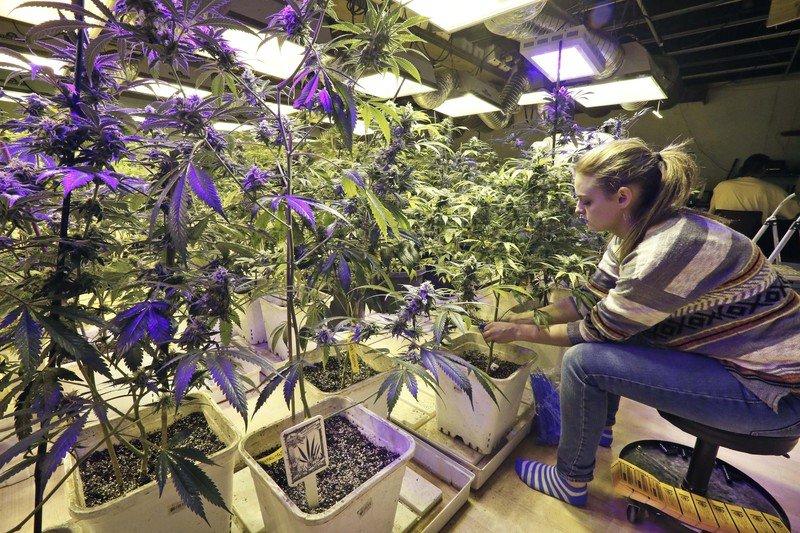 Hodowla marihuany w Kolorado