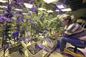 Handel marihuan� to �wietny interes. Rynek w Stanach ju� nied�ugo ma by� wart 21 mld dol. rocznie