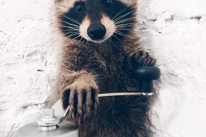 Szop Rocky zaprasza na kawę. Zwierzę samo podchodzi do klientów