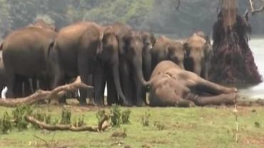 Żałoba stada słoni nad padłym samcem