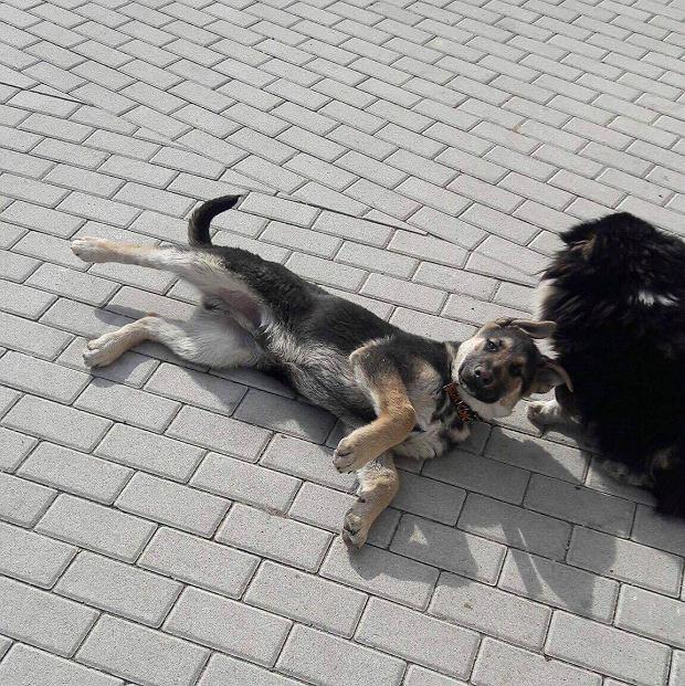 Azor i Łatek - psy pana Grzegorza.  Ze względu na konieczność zachowania sterylności domu, mieszkają na podwórku w ocieplanych budach.