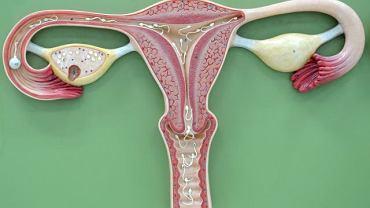 Szyjka, która pomaga plemnikom dostać się do jajeczka, w ciąży ulega przeobrażeniom. Zamyka się szczelnie, by chronić nowe życie